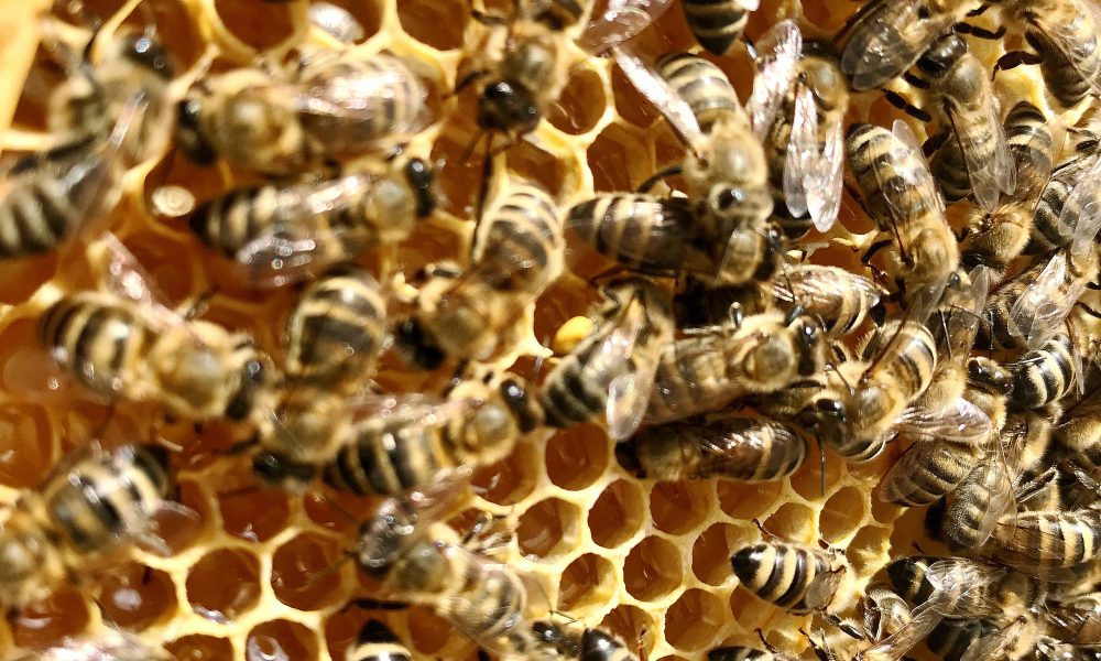 Bee-Removal-Orange-County-Involves-Safe-Transfer-Of-Bees