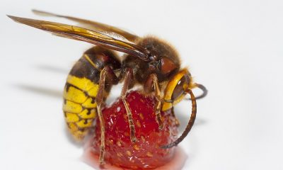 Learn-All-About-the-Murder-Hornet-from-Bee-and-Wasp-Removal-Experts