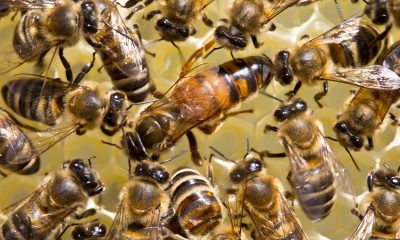 Learn-All-About-The-Queen-Bee-From-The-Bee-And-Wasp-Removal-Professionals